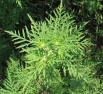 """""""Ambrosia Artemisifolia"""". Evitiamo la sua diffusione per prevenire l'allergia"""